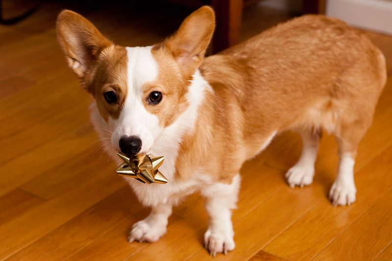 Corgi Vs Kong Brownie Bites Blog