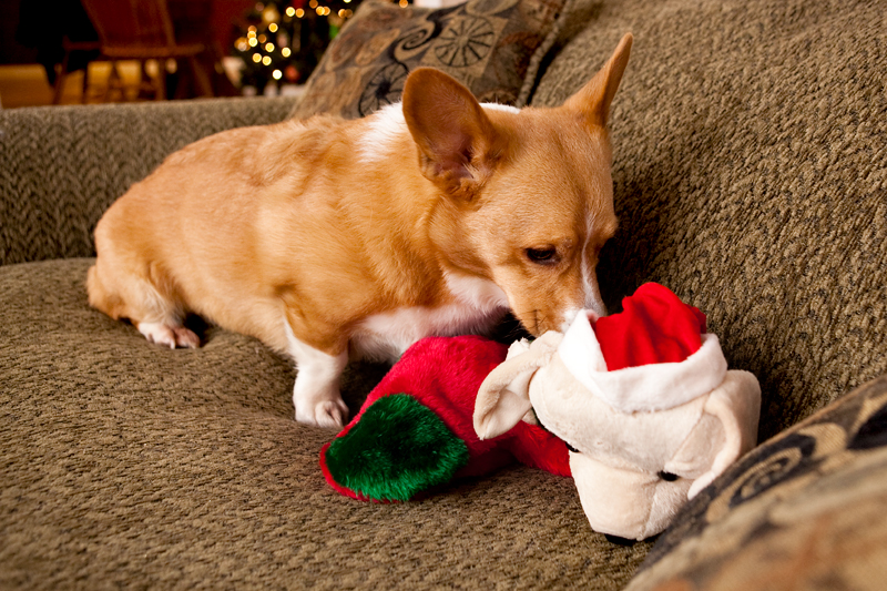 Corgis unwrapping Christmas gifts and receiving a Kong