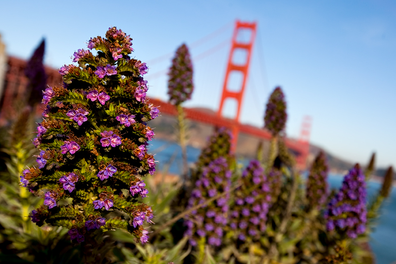 The Golden Gate Bridge with flowers