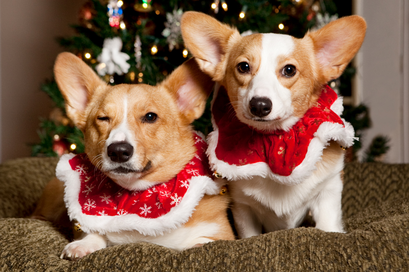 Christmas Card Photos with Pembroke Welsh Corgis