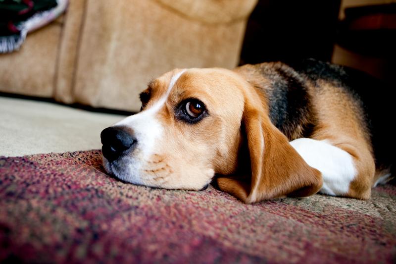 Adorable photo of a beagle