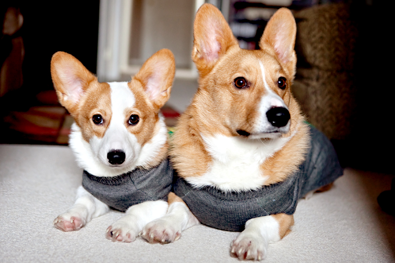 Dexter & Dewey - Pembroke Welsh Corgi wearing a sweater