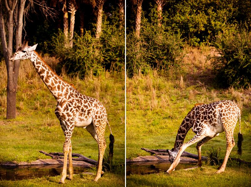 Giraffe at Animal Kingdom in Orlando, FL.  Brownie Bites - Travels & Experiences of Matt & Erin Browne