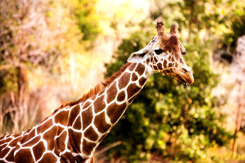 Reticulated Giraffe at Animal Kingdom in Orlando, FL.  Brownie Bites - Travels & Experiences of Matt & Erin Browne