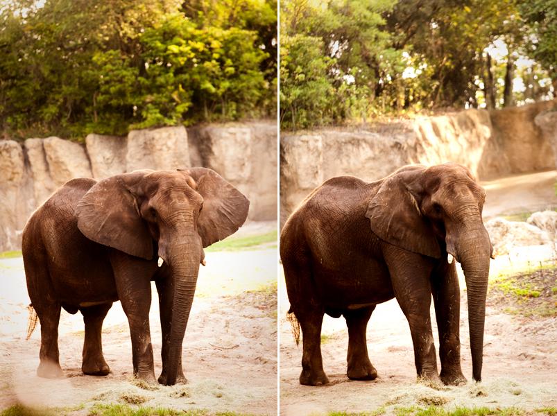 African Elephant at Animal Kingdom in Orlando, FL.  Brownie Bites - Travels & Experiences of Matt & Erin Browne