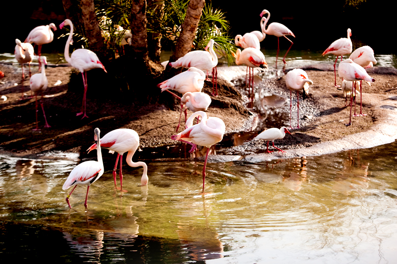 Greater Flamingo at Animal Kingdom in Orlando, FL.  Brownie Bites - Travels & Experiences of Matt & Erin Browne