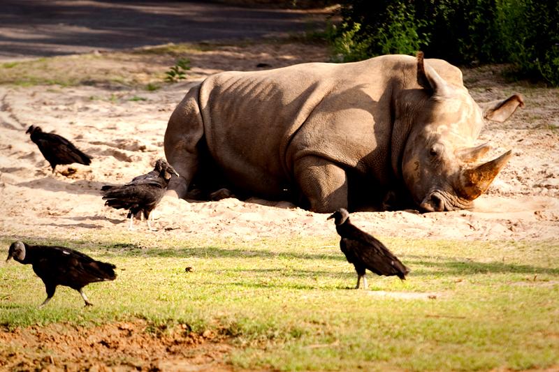 Lazy Rhinoceros at Animal Kingdom in Orlando, FL.  Brownie Bites - Travels & Experiences of Matt & Erin Browne