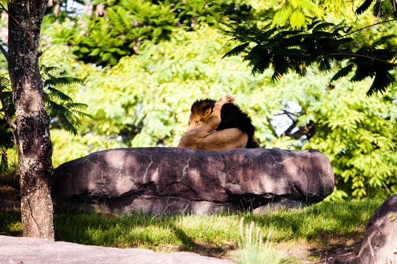 African Lion licking himself at Animal Kingdom in Orlando, FL.  Brownie Bites - Travels & Experiences of Matt & Erin Browne