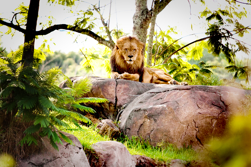 African Lion staring into camera at Animal Kingdom in Orlando, FL.  Brownie Bites - Travels & Experiences of Matt & Erin Browne