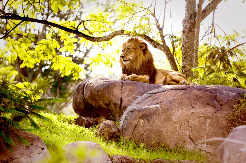 African Lion staring into distance at Animal Kingdom in Orlando, FL.  Brownie Bites - Travels & Experiences of Matt & Erin Browne