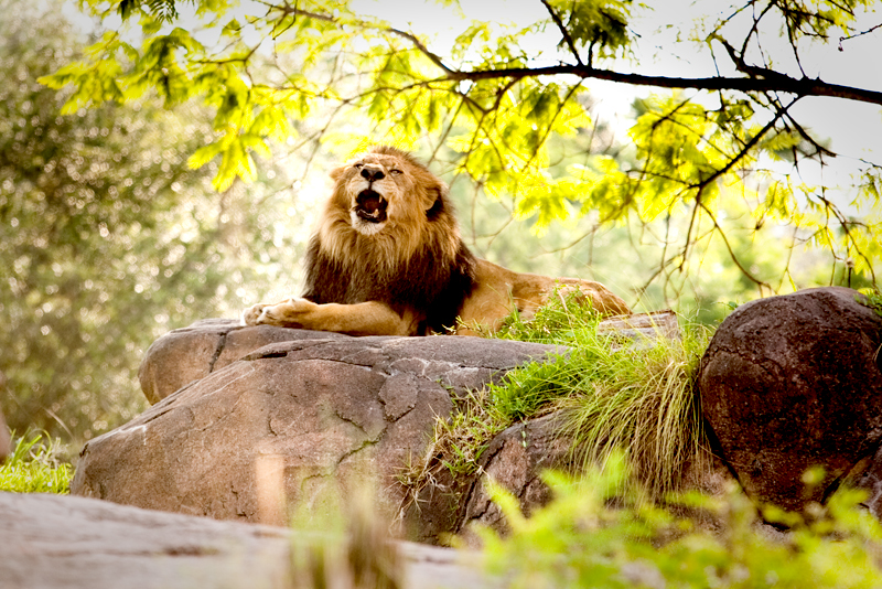 African Lion roaring at Animal Kingdom in Orlando, FL.  Brownie Bites - Travels & Experiences of Matt & Erin Browne