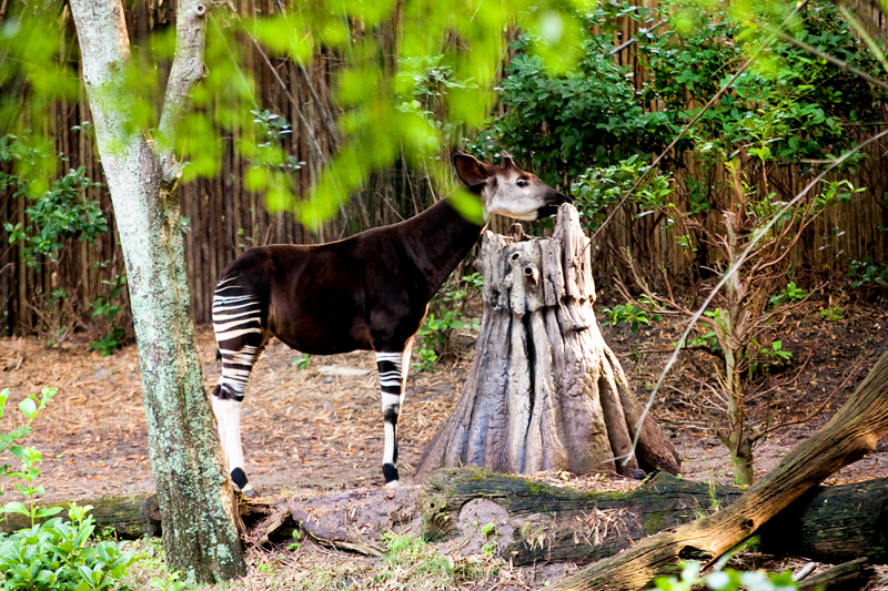Okapi at Animal Kingdom in Orlando, FL.  Brownie Bites - Travels & Experiences of Matt & Erin Browne