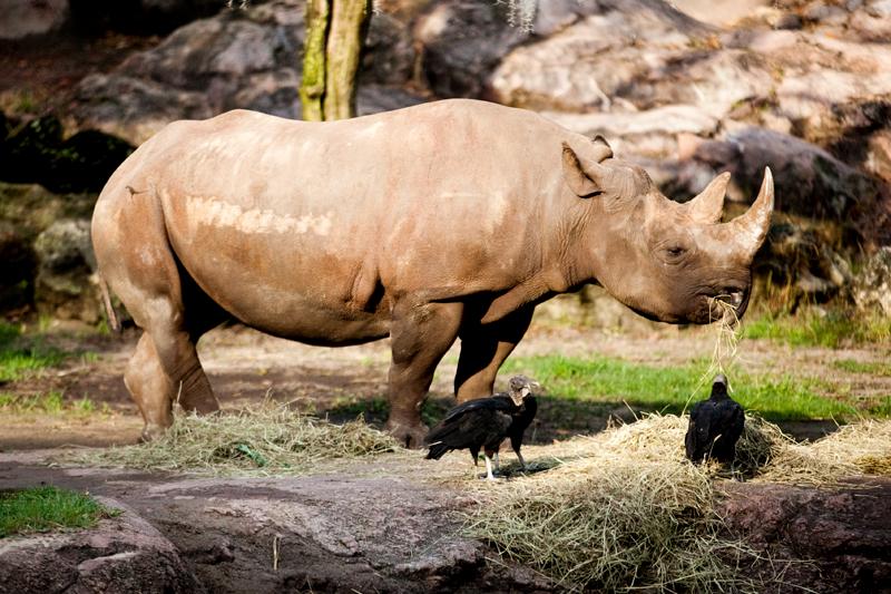 Rhinoceros at Animal Kingdom in Orlando, FL.  Brownie Bites - Travels & Experiences of Matt & Erin Browne