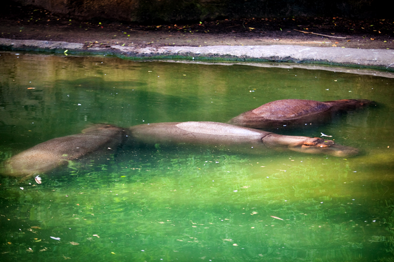 Hippos at Animal Kingdom in Orlando, FL.  Brownie Bites - Travels & Experiences of Matt & Erin Browne