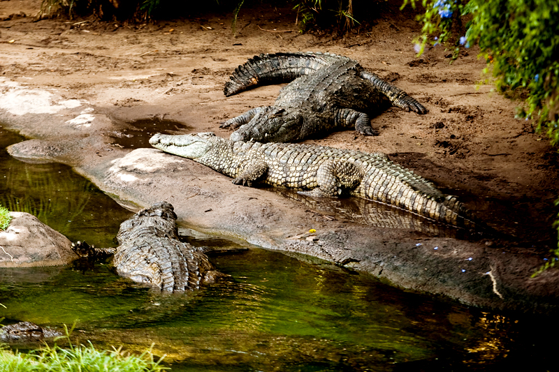 Nile Crocodiles at Animal Kingdom in Orlando, FL.  Brownie Bites - Travels & Experiences of Matt & Erin Browne