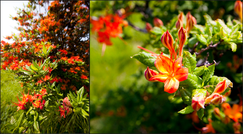 Hike to Gregory Bald to see the Flame Azaleas in the Smoky Mountains
