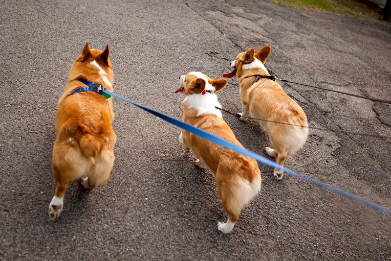 Gang of corgis taking a walk