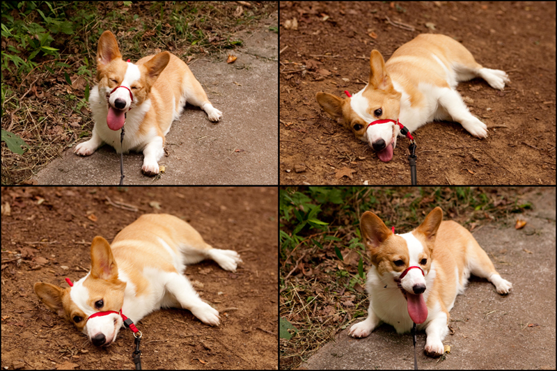 Dewey - Welsh Pembroke Corgi at Ijams Nature Center