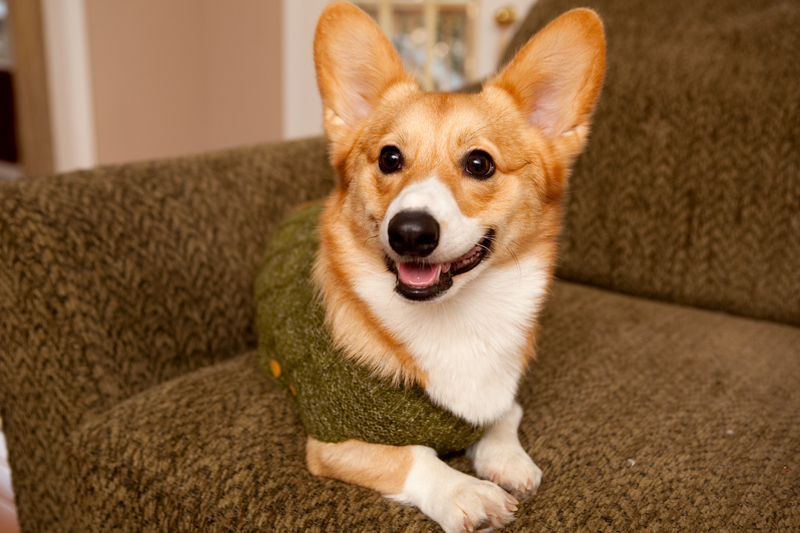 Corgi group photo wearing matching sweaters