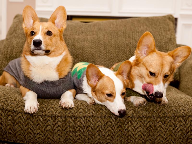 Corgi group photo wearing matching sweaters