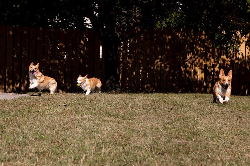 Three Pembroke Welsh corgis playing fetch outside.