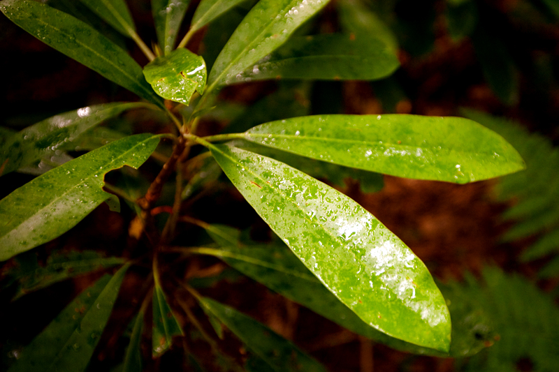 Wet rhododendron leaves