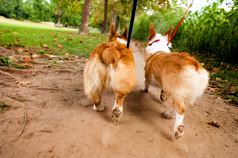 twin bunny butts pembroke welsh corgi