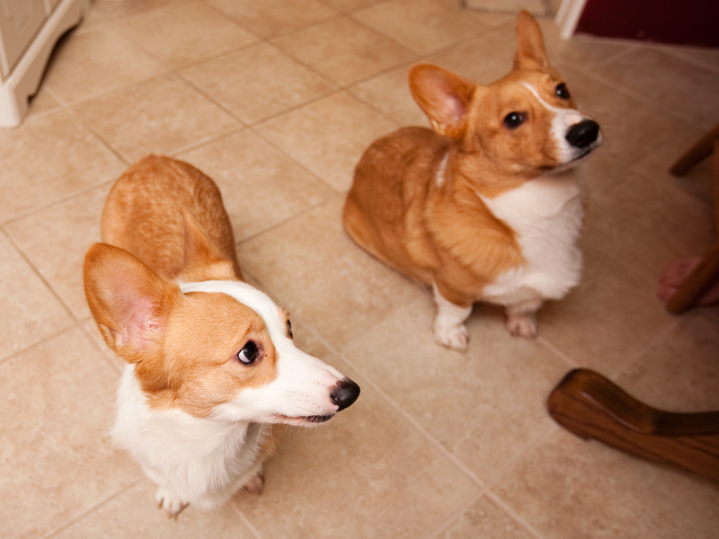 Welsh corgi with sad face.