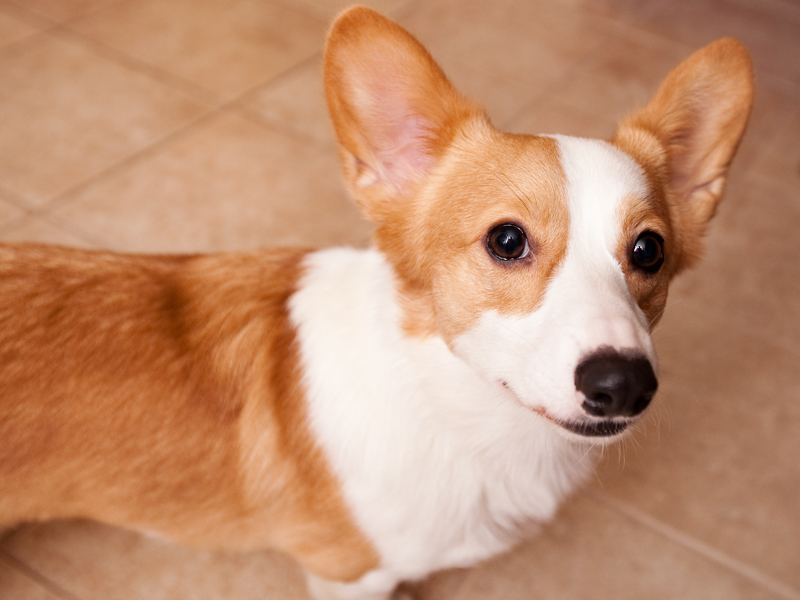 Close up of welsh corgi face.
