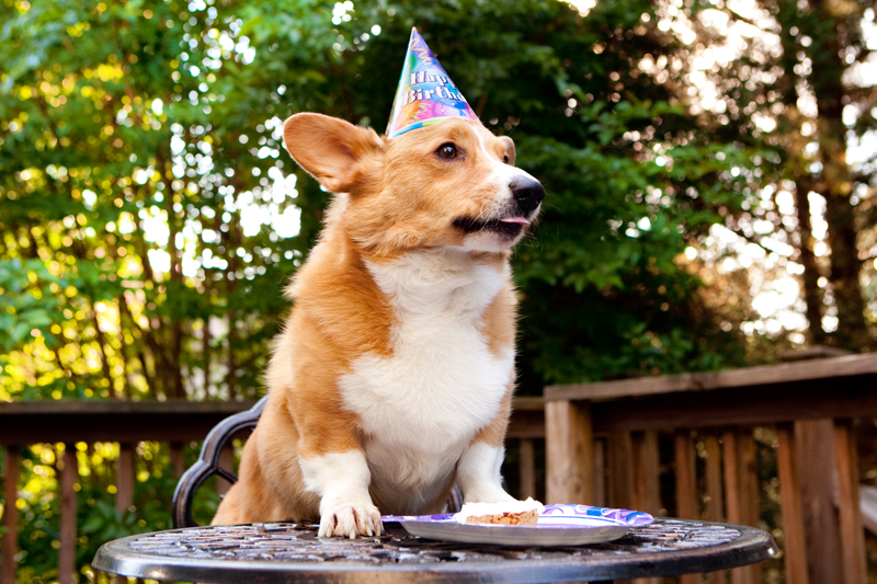 Cute corgis eating birthday cake