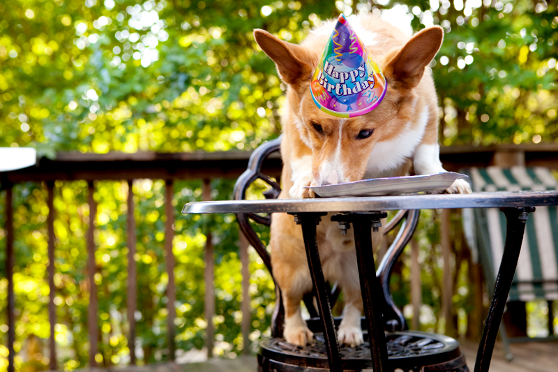 Cute corgis eating birthday cake