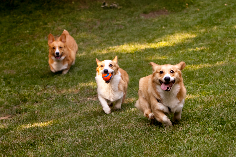 Three adorable corgis playing fetch in the yard.