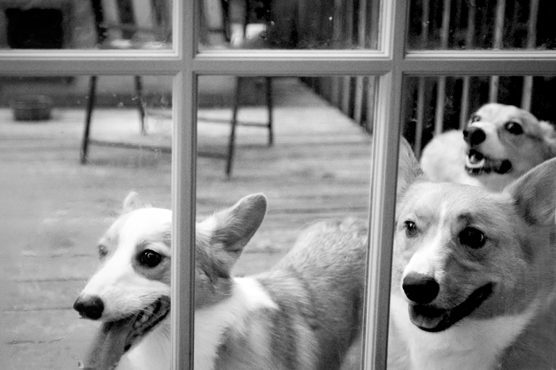 Corgis looking through window