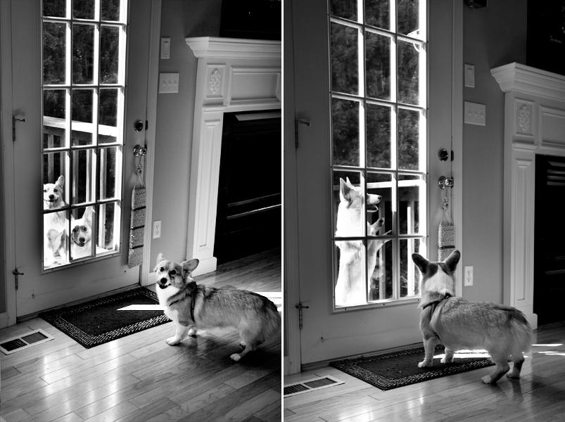 Corgis looking at each other through door
