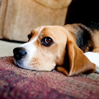Beagles are Con Artists