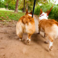 twin-bunny-butts-pembroke-welsh-corgi