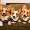 pembroke-welsh-corgi-wearing-sweater-2