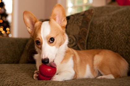 corgis-unwrapping-christmas-presents-kong-stuffed-20