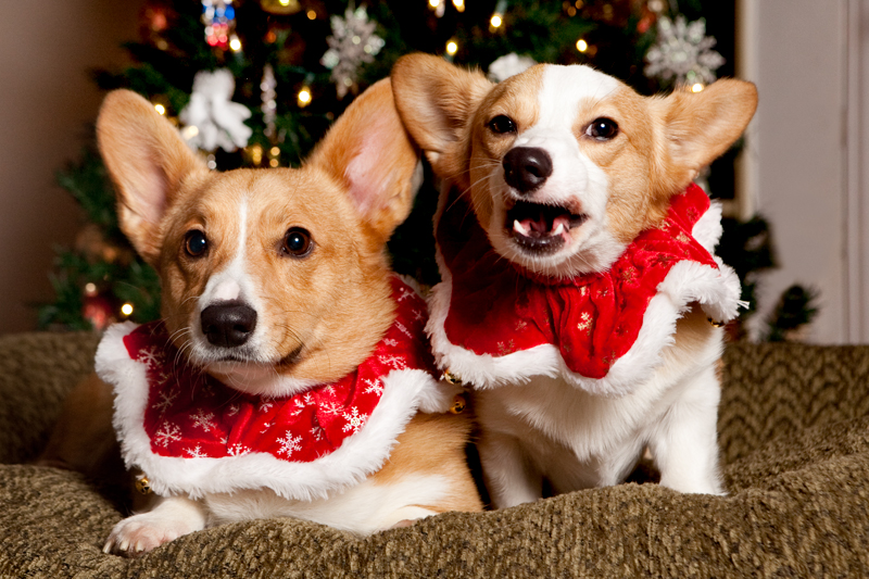 welsh-corgi-christmas-card-photo-outtakes-3