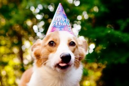 carrot-oatmeal-pupcakes-dog-muffins-and-corgi-birthday-3