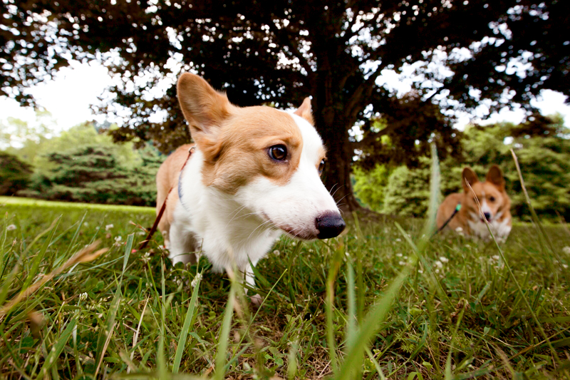 corgis in the grass