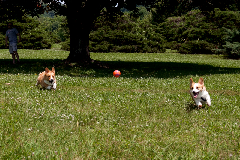 corgis playing fetch outside