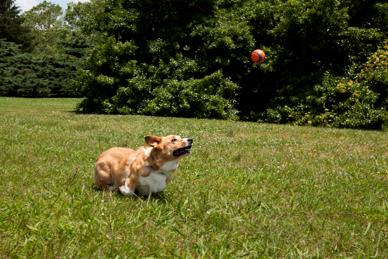 corgi trying to catch a ball