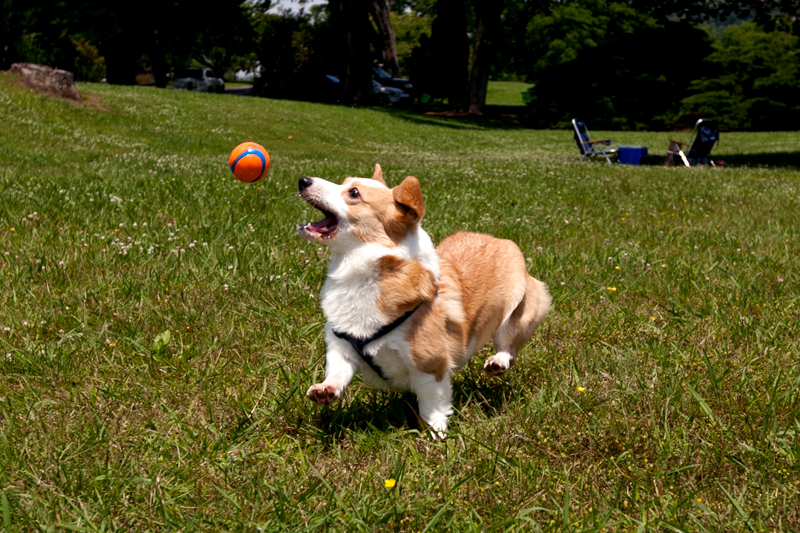 corgi catching a tennis ball