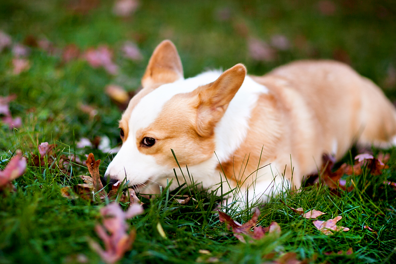 pembroke-welsh-corgi-portrait-dewey-full-02