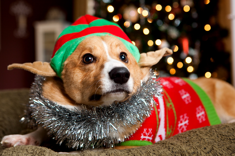 pembroke-welsh-corgi-christmas-card-photos-01