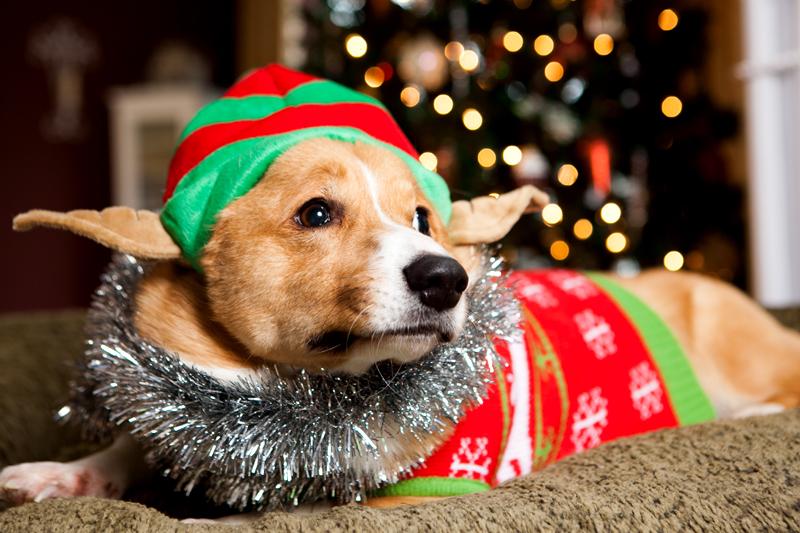 pembroke-welsh-corgi-christmas-card-photos-02