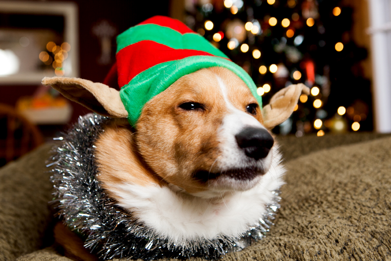 pembroke-welsh-corgi-christmas-card-photos-03