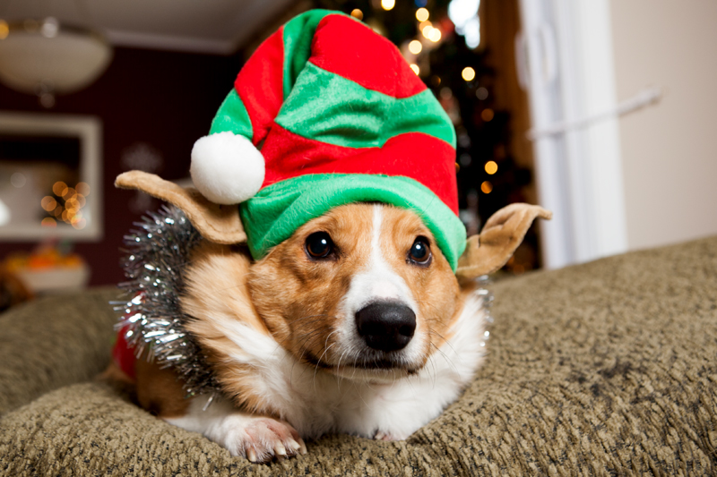pembroke-welsh-corgi-christmas-card-photos-04