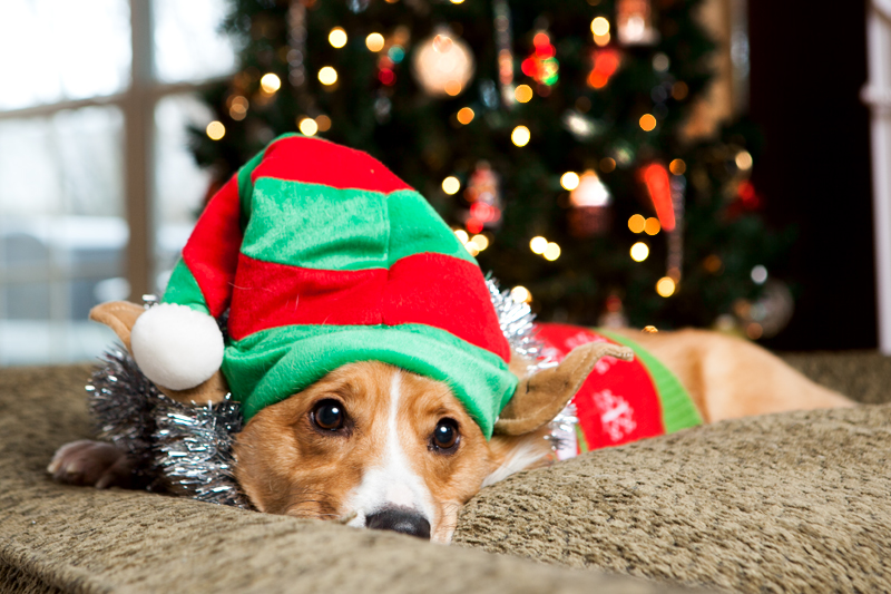 pembroke-welsh-corgi-christmas-card-photos-05